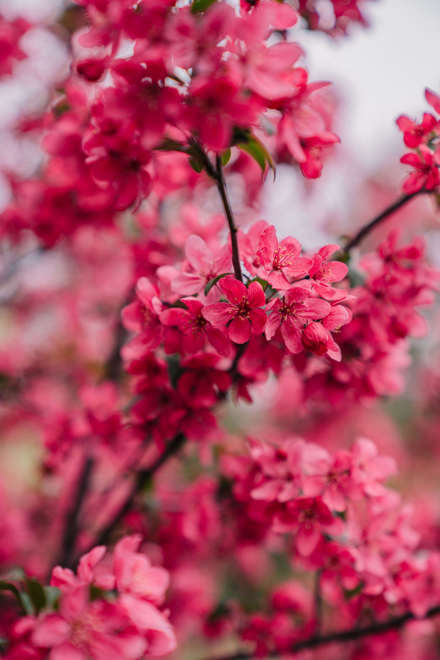 close up of pink blossoms